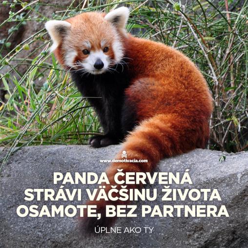 Panda červená strávi väčšinu času osamote, bez partnera. Úplne, ako ty.